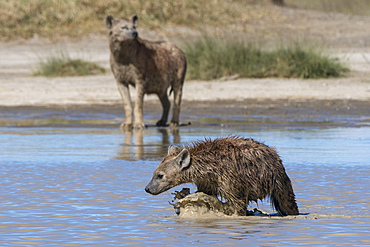 Spotted hyaenas (Crocura crocuta) walking in the water, Tanzania, East Africa, Africa