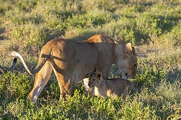 Lioness (Panthera leo) and its cub, Ndutu, Ngorongoro Conservation Area, UNESCO World Heritage Site, Tanzania, East Africa, Africa