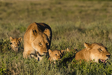 Two lionesses (Panthera leo) and two five week old cubs in the grass, Tanzania, East Africa, Africa