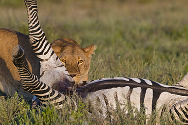 A lioness (Panthera leo) feeding on a common zebra (Equus quagga), Tanzania, East Africa, Africa