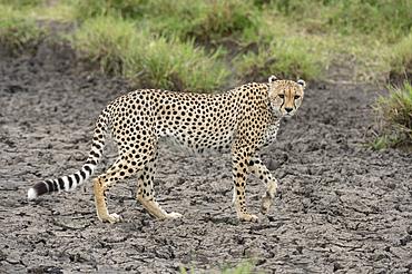 Cheetah (Acynonix jubatus), Seronera, Serengeti National Park, UNESCO World Heritage Site, Tanzania, East Africa, Africa