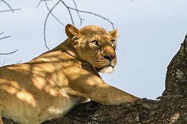 Lioness (Panthera leo) on a tree, Ndutu, Ngorongoro Conservation Area, UNESCO World Heritage Site, Tanzania, East Africa, Africa