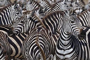 A herd of plains zebras (Equus quagga) in the Hidden Valley, Tanzania, East Africa, Africa