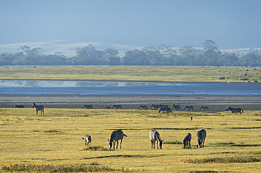 Common zebras (Equus quagga) in the Ngorongoro crater, Ngorongoro Conservation Area, UNESCO World Heritage Site, Tanzania, East Africa, Africa