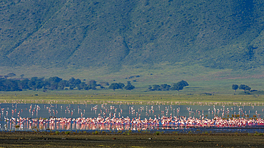 Lesser flamingos (Phoenicopterus minor) feeding on crater lake, Tanzania, East Africa, Africa