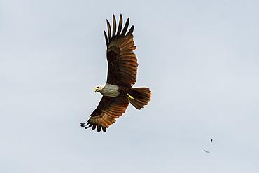 A Brahminy kite (Haliastur indus), the symbol of Langkawi, Kilim Geoforest Park, Langkawi, Malaysia, Southeast Asia, Asia