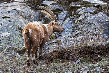 Alpine ibex (capra ibex), Valsavarenche, Gran Paradiso National Park, Aosta Valley, Italy, Europe