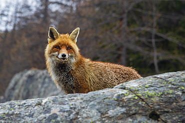 Red fox (Vulpes vulpes), Valsavarenche, Gran Paradiso National Park, Aosta Valley, Italy, Europe