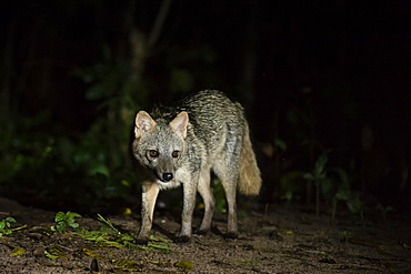 Crab-eating fox (Cerdocyon thous), Pantanal, Mato Grosso do Sul, Brazil, South America