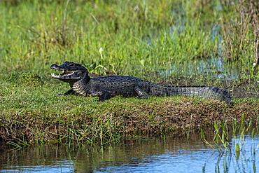Jacare caiman (Caiman yacare), Pantanal, Mato Grosso do Sul, Brazil, South America