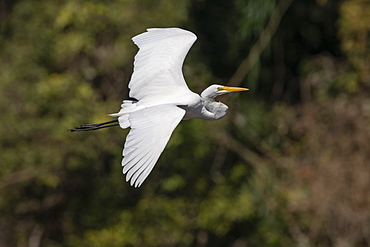 Great egret (Casmerodius albus), Pantanal, Mato Grosso do Sul, Brazil, South America