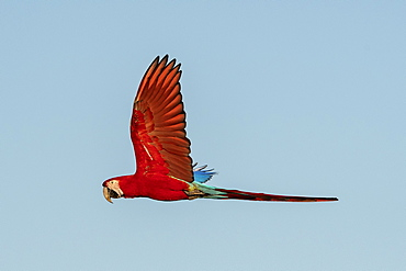 Red-and-green macaw (Ara chloropterus), Mato Grosso do Sul, Brazil, South America