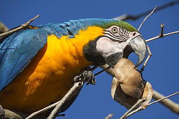 Blue-and-yellow macaw (Ara ararauna), Makaw Sinkhole, Mato Grosso do Sul, Brazil, South America
