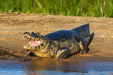 Jacare caiman (Caiman yacare), Pantanal, Mato Grosso, Brazil, South America
