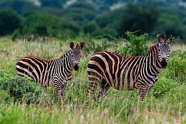 Grant's zebra (Equus quagga boehmi), Tsavo, Kenya, East Africa, Africa