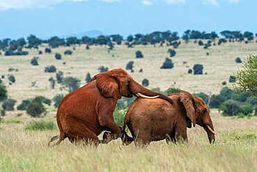 Two male African elephants (Loxodonta africana) displaying homosexual behavior, Tsavo, Kenya, East Africa, Africa