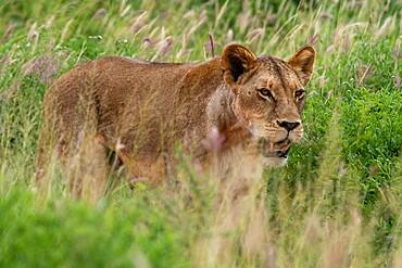 Lioness (Panthera leo), Tsavo, Kenya, East Africa, Africa