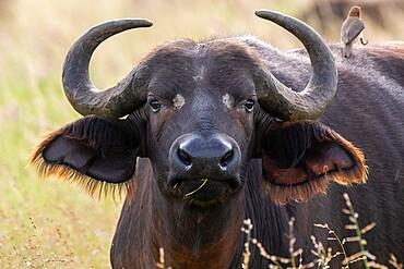 Cape buffalo (Syncerus caffer), Tsavo, Kenya, East Africa, Africa