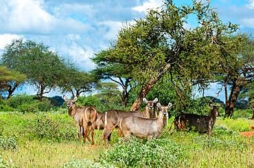 Waterbuck (Kobus ellipsiprymnus), Tsavo, Kenya, East Africa, Africa