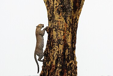 Leopard (Panthera pardus), Seronera, Serengeti National Park, Tanzania, East Africa, Africa