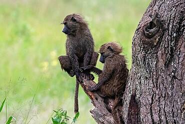Olive Baboon (Papio anubis), Seronera, Serengeti National Park, Tanzania, East Africa, Africa