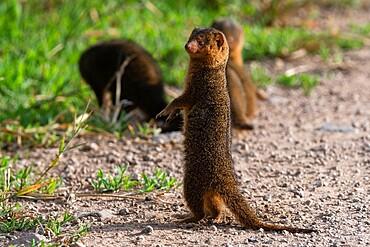 Dwarf mongoose (Helogale parvula), Seronera, Serengeti National Park, Tanzania, East Africa, Africa