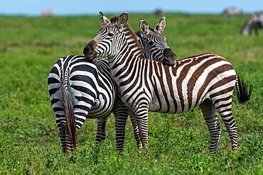 Plains zebras (Equus quagga), Ndutu, Ngorongoro Conservation Area, Serengeti, Tanzania, East Africa, Africa