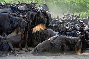 Wildebeests (Connochaetes taurinus), Ndutu, Ngorongoro Conservation Area, Serengeti, Tanzania, East Africa, Africa