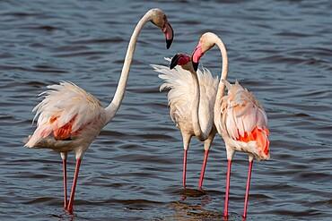 Greater flamingos (Phoenicopterus ruber) on Lake Ndutu, Ngorongoro Conservation Area, Serengeti, Tanzania, East Africa, Africa