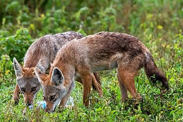 Golden jackals (Canis aurus) investigating a plastic bottle, Ndutu, Ngorongoro Conservation Area, Serengeti, Tanzania, East Africa, Africa