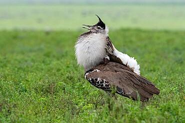 Kori bustard (Ardeotis kori) male parade, Ndutu, Ngorongoro Conservation Area, Serengeti, Tanzania, East Africa, Africa