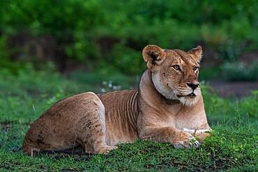 A GPS-collared lioness (Panthera leo), Ndutu, Ngorongoro Conservation Area, Serengeti, Tanzania, East Africa, Africa