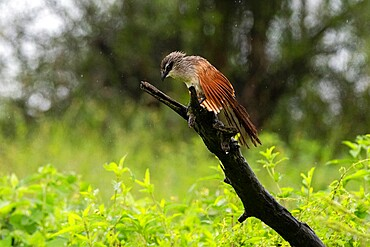 White-browed coucal (Centropus superciliosus) on a branch, Ndutu, Ngorongoro Conservation Area, Serengeti, Tanzania, East Africa, Africa