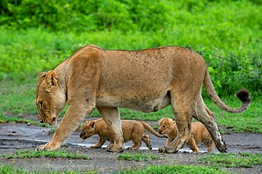 A lioness (Panthera leo) with its four week old cubs, Ndutu, Ngorongoro Conservation Area, Serengeti, Tanzania, East Africa, Africa