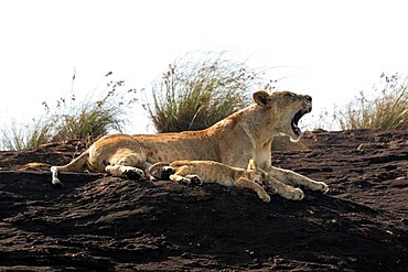 Lioness and cub on the Lion Rock, a promontory which has inspired the Disney movie The Lion King, Lualenyi, Kenya, East Africa, Africa