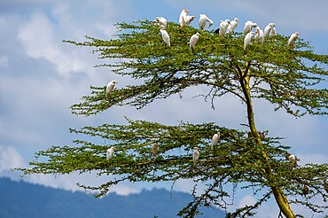 Cattle egrets (Bubulcus ibis), Lake Jipe, Tsavo West National Park, Kenya, East Africa, Africa