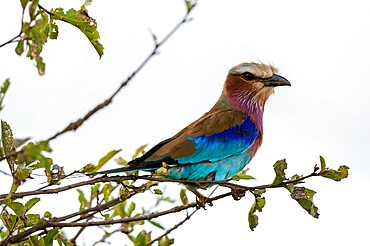 Lilac-breasted roller (Coracias caudata), Lualenyi, Tsavo Conservation Area, Kenya, East Africa, Africa