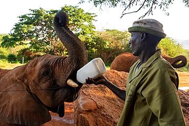 David Sheldrick Wildlife Trust rescue center, Voi, Tsavo Conservation Area, Kenya, East Africa, Africa
