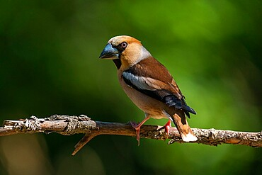 Hawfinch (Coccothraustes coccothraustes), Notranjska forest, Slovenia, Europe