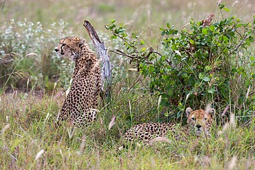 A cheetah (Acynonix jubatus) resting in the grass, Tsavo, Kenya, East Africa, Africa