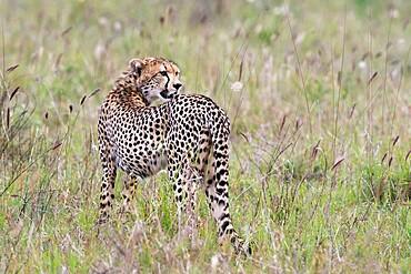 A cheetah (Acynonix jubatus) looking back, Tsavo, Kenya, East Africa, Africa