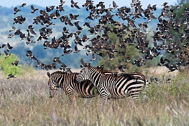 Barn swallows (Hirundo rustica), flying over two plains zebras (Equus quagga), Tsavo, Kenya, East Africa, Africa