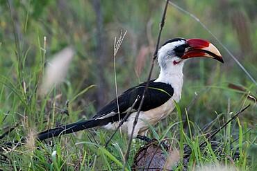 Von der Decken's Hornbill (Tockus deckeni), Tsavo, Kenya, East Africa, Africa