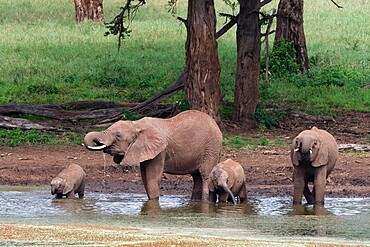 African elephants (Loxodonta africana) and calves drinking, Tsavo, Kenya, East Africa, Africa