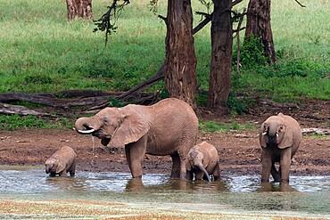 African elephants (Loxodonta africana) and calves drinking, Tsavo, Kenya, East Africa, Africa