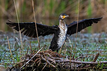 Cormorant (Phalocrocorax carbo), Lake Varese, Varese, Lombardy, Italy, Europe - 741-5993