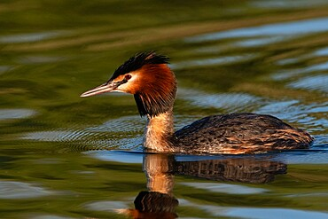 Great crested grebe (Podiceps cristatus), Lake Varese, Varese, Lombardy, Italy, Europe - 741-5996