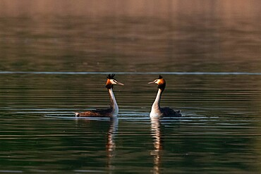 Great crested grebe (Podiceps cristatus), Lake Varese, Varese, Lombardy, Italy, Europe - 741-5998