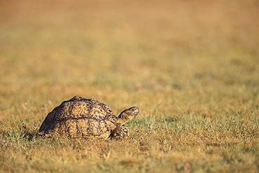 Leopard (mountain) tortoise (Stigmochelys pardalis), Kgalagadi Transfrontier Park, Northern Cape, South Africa, Africa