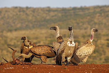 Whitebacked vultures (Gyps africanus) at carcass, Zimanga Private Game Reserve, KwaZulu-Natal, South Africa, Africa